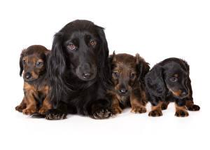 Картинка Собаки Такса Щенок Животные