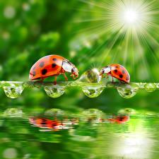 Картинки Божьи коровки Вода Капельки Вдвоем Лучи света животное