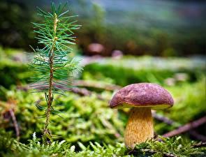 Обои Грибы природа Крупным планом Мох Ветки needles porcini Природа фото