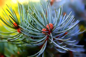 Обои Крупным планом Макро Ветки Pine needles Природа фото