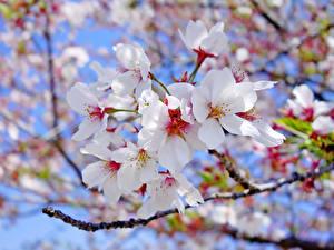 Обои Цветущие деревья Крупным планом Ветки Белый Сакура Цветы фото