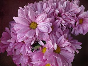 Картинка Хризантемы Крупным планом Розовых Капель Цветы