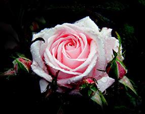 Обои Розы Крупным планом Капли Цветы фото