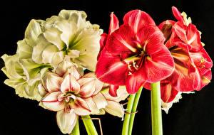 Картинка Вблизи Амариллис Черный фон Цветы