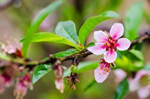 Обои Крупным планом Цветущие деревья Сакура Ветки Листья Цветы фото