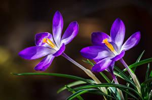 Фотографии Крокусы Вблизи Две цветок