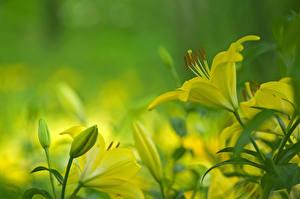 Фотографии Вблизи Лилии Бутон Цветы