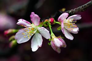 Обои Крупным планом Цветущие деревья Ветки Сакура Цветы фото