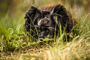Обои Собака Китайская хохлатая Трава Черные Животные