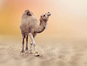 Фотографии Верблюды Животные