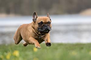 Обои Собаки Французский бульдог Бег Прыжок Бульдог Животные фото