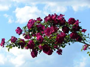 Обои Розы Ветки Бордовый Цветы фото