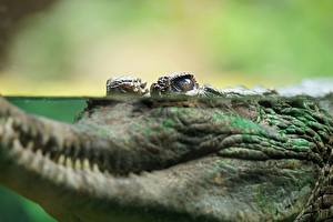 Фотография Крокодил Вода