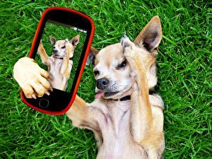 Картинка Собаки Чихуахуа Смартфон Трава Селфи Животные