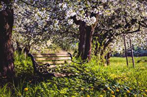 Обои Парки Цветущие деревья Скамья Трава Ствол дерева Природа