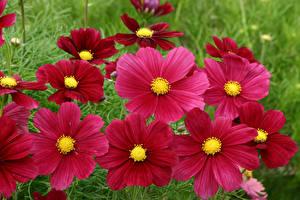 Картинка Космея Вблизи Бордовые Цветы