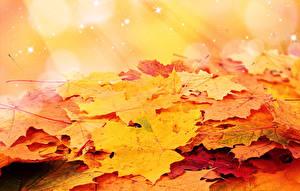 Обои Осень Листья Клён Природа