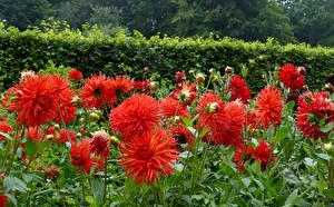 Фото Георгины Красных Бутон цветок