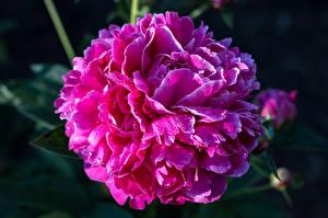 Картинки Пионы Крупным планом Розовые Цветы