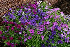 Обои Петунья Много цветок