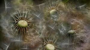 Обои Одуванчики Крупным планом цветок
