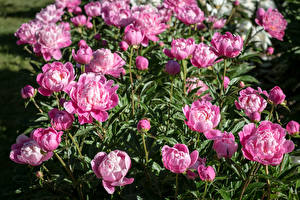 Обои Пионы Много Розовый Цветы