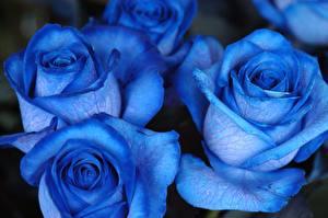 Картинки Розы Вблизи Синий Цветы