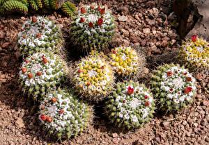 Фотографии Кактусы Вблизи Цветы