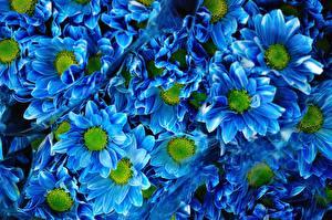 Обои Хризантемы Много Синий Голубой ромашковая Цветы