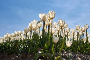 Фотографии Тюльпан Поля Белых Цветы