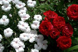 Обои Роза Гвоздики Крупным планом Цветы