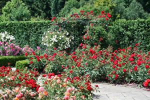 Картинки Англия Сады Розы Много Кустов Rosemoor Gardens Devon Природа Цветы