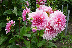 Обои Георгины Розовых Бутон цветок
