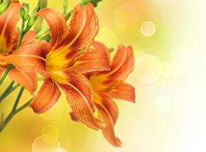 Фото Лилии Крупным планом Оранжевый Цветы