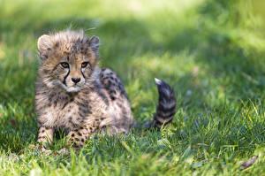 Фотография Детеныши Гепарды Трава Животные