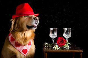 Фотографии Собака Розы Ретривер Шляпа Двое Бокалы Сердце На черном фоне Животные