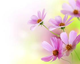 Фотографии Космея Крупным планом Розовые Цветы