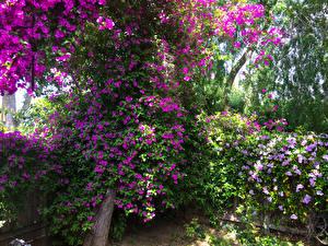 Картинка Америка Сады Бугенвиллия Калифорнии Bougainvillea  San Jose Цветы