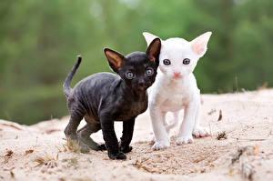 Обои Кошка Котенка 2 Cornish Rex Животные