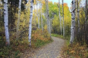 Фотографии Осенние Березы Деревья Природа