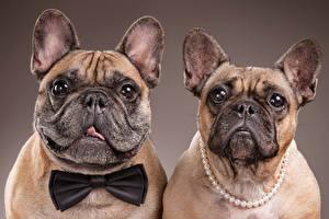 Картинка Собаки Вдвоем Бульдог Морда Взгляд Бантики Цветной фон Еда