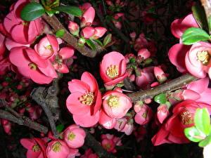 Обои Крупным планом Цветущие деревья Сакура Ветки Цветы фото