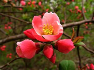 Обои Цветущие деревья Крупным планом Сакура Ветки Красный Цветы фото