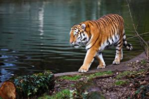 Обои Тигры Побережье Животные фото