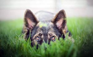Картинка Собаки Взгляд Траве Овчарка животное