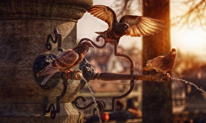 Картинка Птица Голуби Трое 3 животное