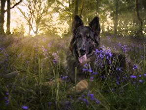 Картинка Собаки Овчарка Трава животное