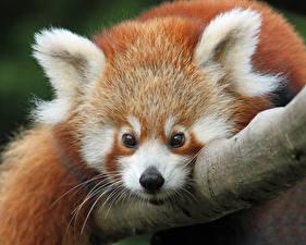 Фото Малая панда Морда Усы Вибриссы Смотрит
