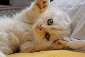 Фотографии Коты Скоттиш-фолд Котенок Белые Лап Животные