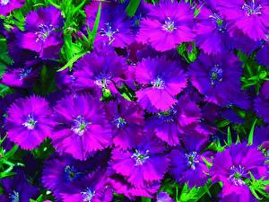 Фотография Гвоздика Крупным планом Бордовый цветок